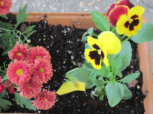 Mums and Pansies
