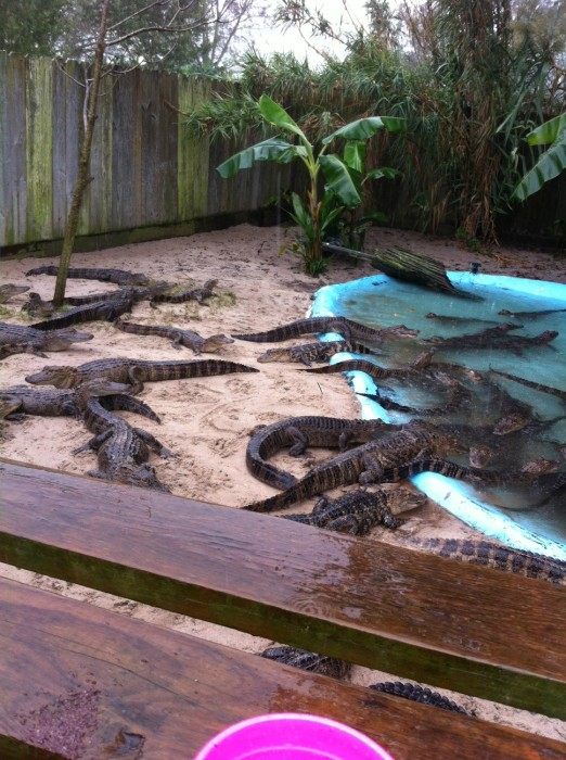 1 and 2 year old gators at Alligator Alley