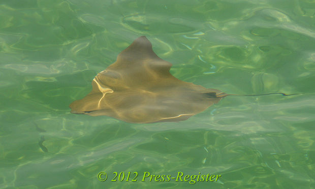 Sting Rays at Gulf State Park Pier