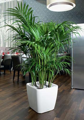 Kentia-palm-with-Quadro-Planter