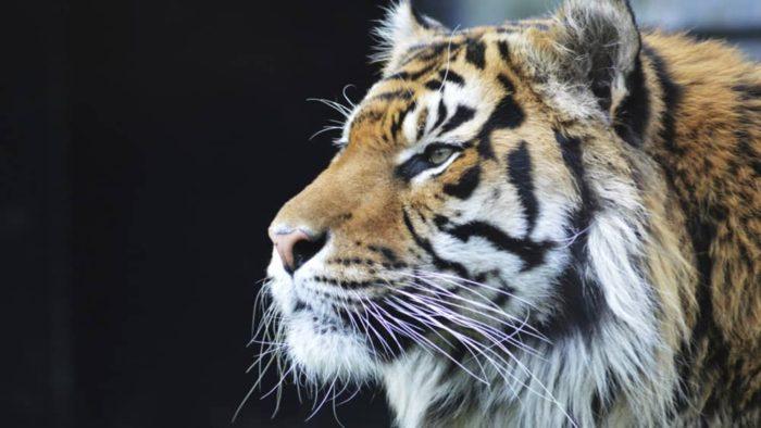 tigere-at-ragunan-zoo
