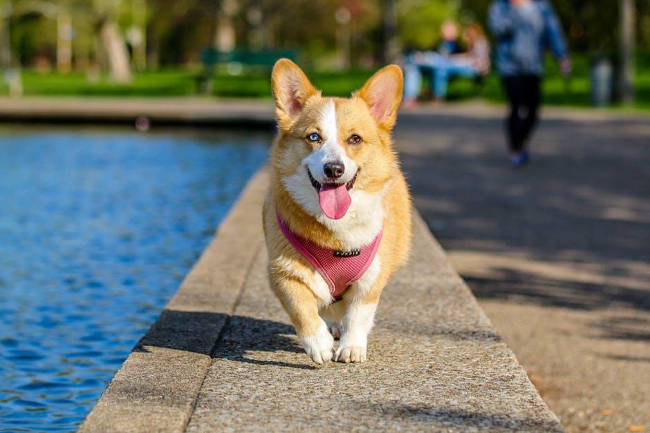 Pet Dog Airfare